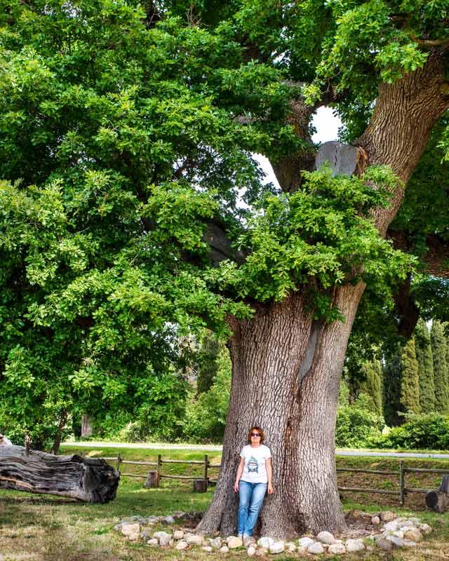 Галина Парусова возле гигантского дуба