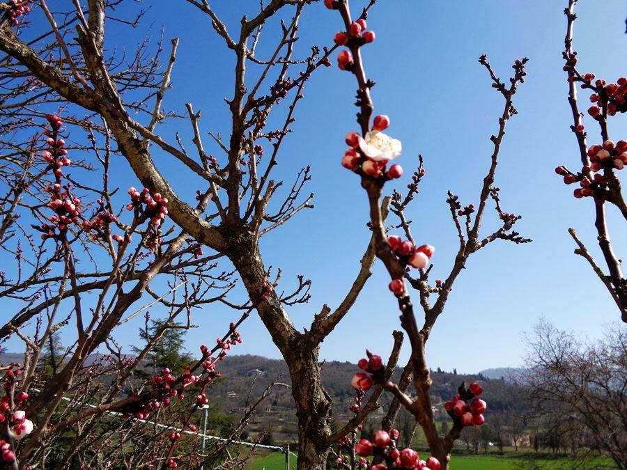 абрикос зацветает