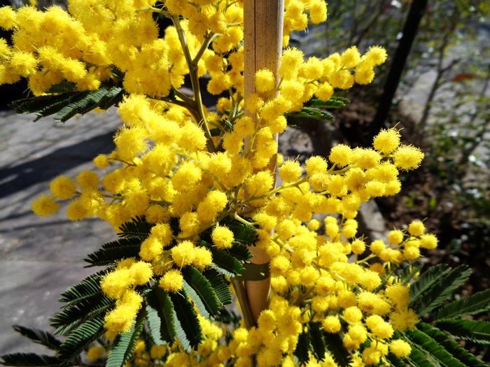 цветы мимозы