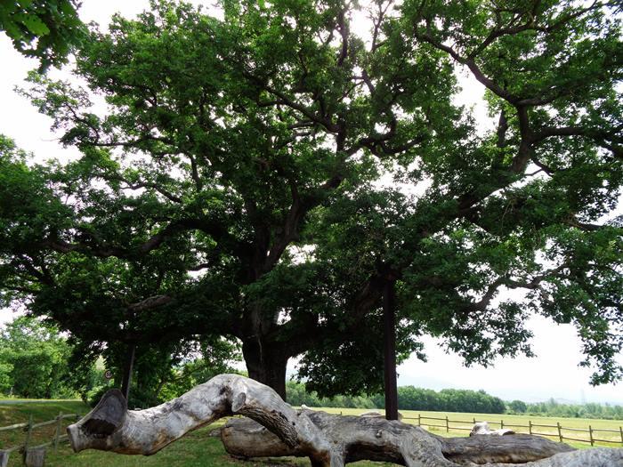 ветви дуба на земле