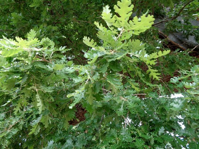 гигантский дуб в Тоскане, листья