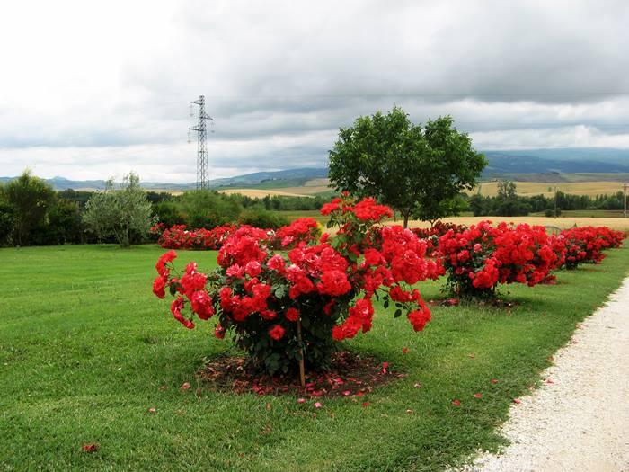 кусты роз возле замка
