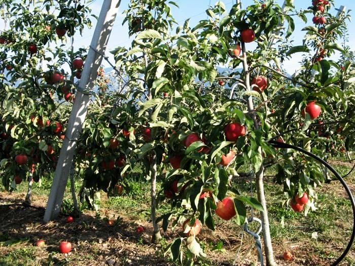 Яблоки из Мелинды