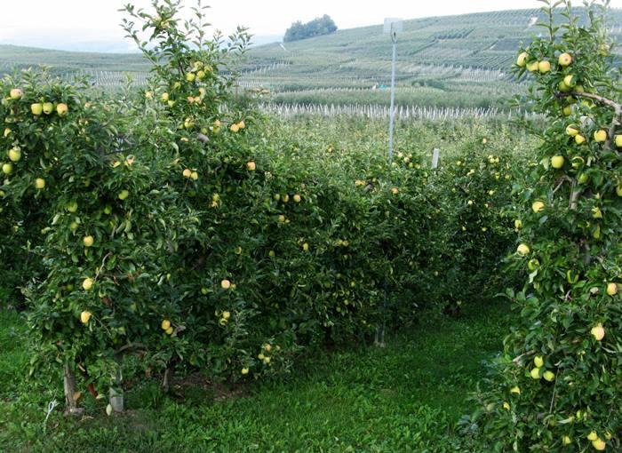 яблоневые сады консорциума мелинда
