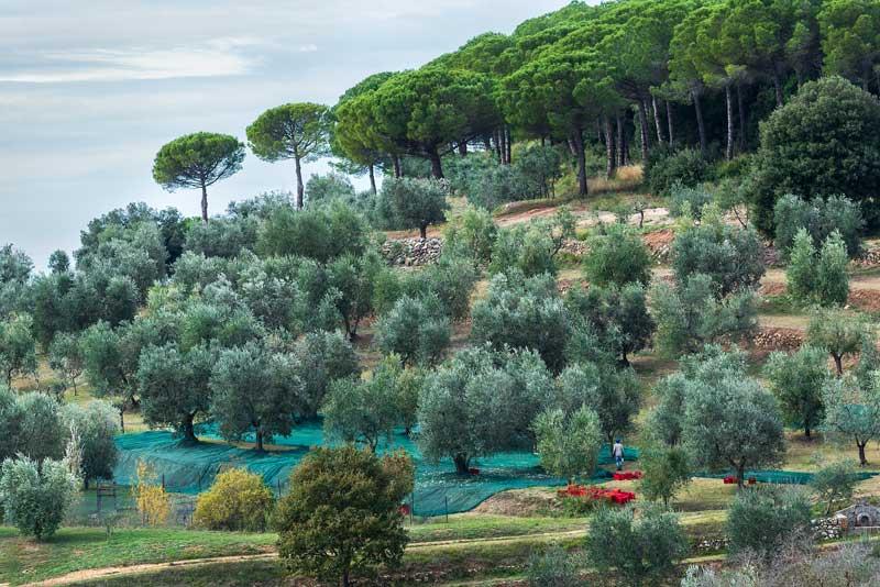 ноябрь в Италии - месяц сбора оливок