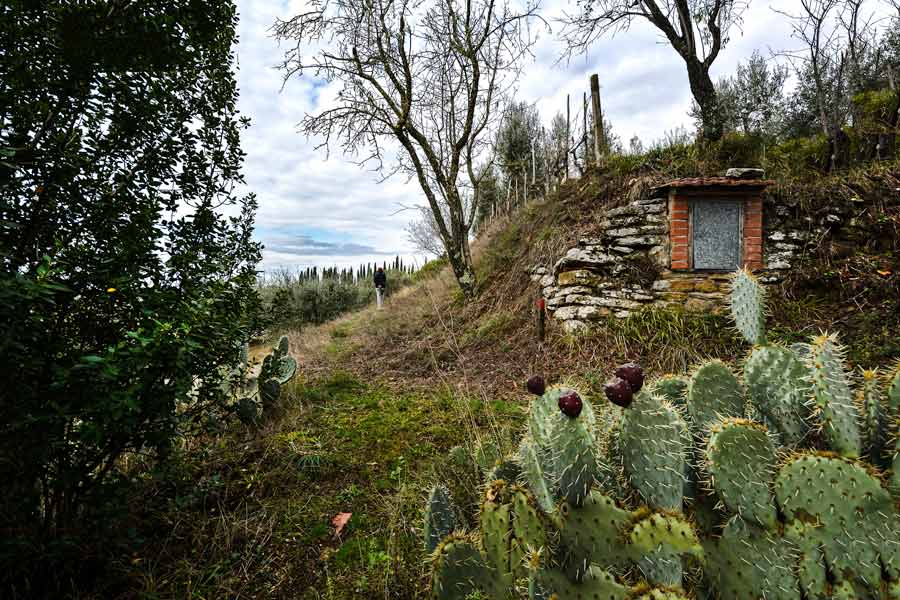 тропа к оливковой роще, Ареццо
