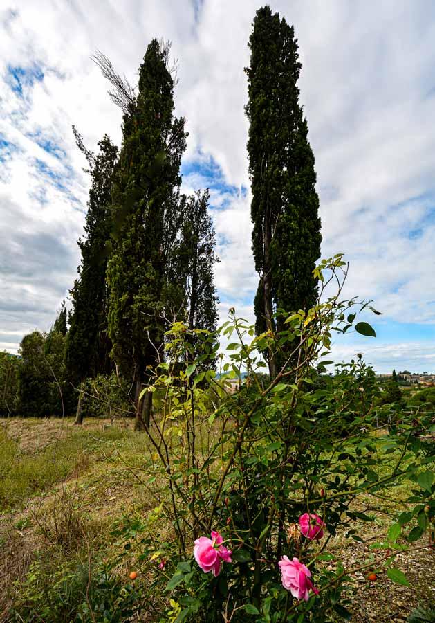 осенние розы, Ареццо