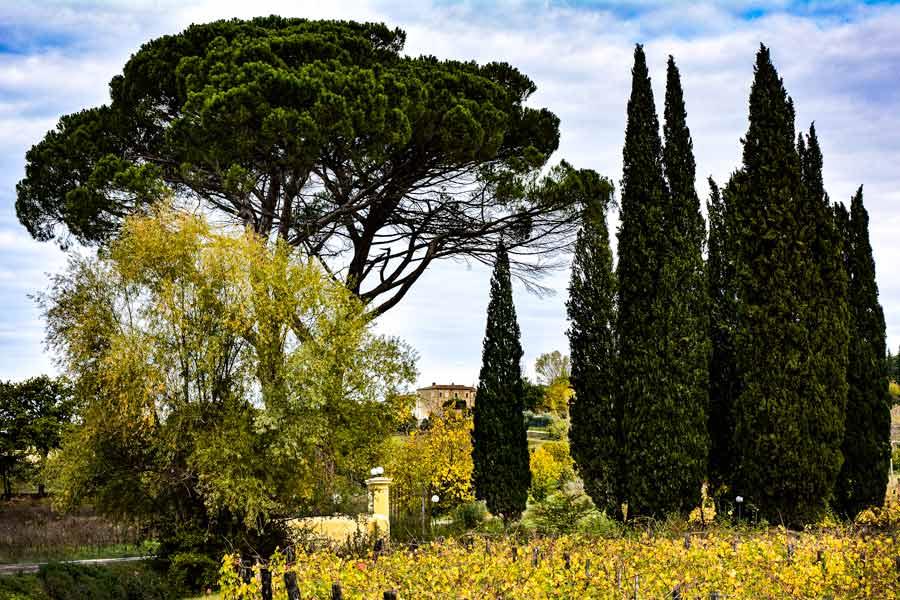 виноградник и кипарисы, Ареццо