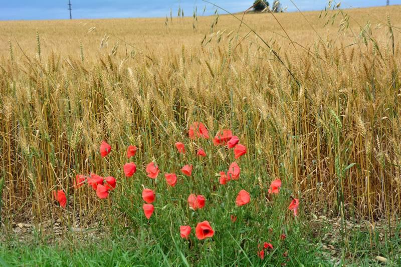 Поля зерновых в Тоскане
