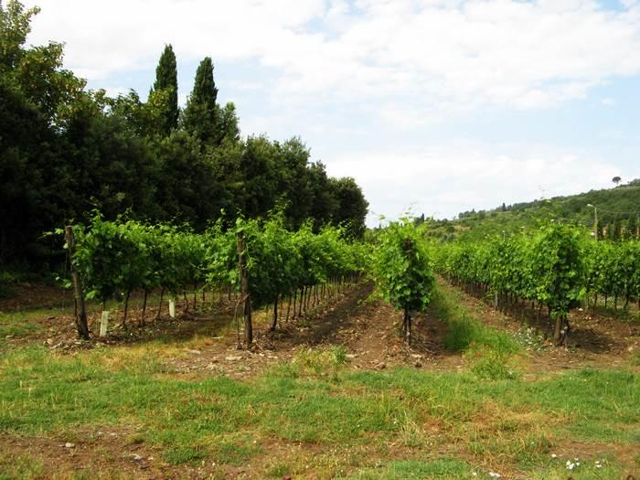 Тоскана - фото виноградника