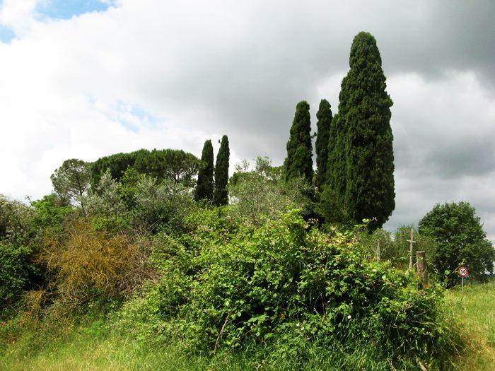кипарисы в Тоскане