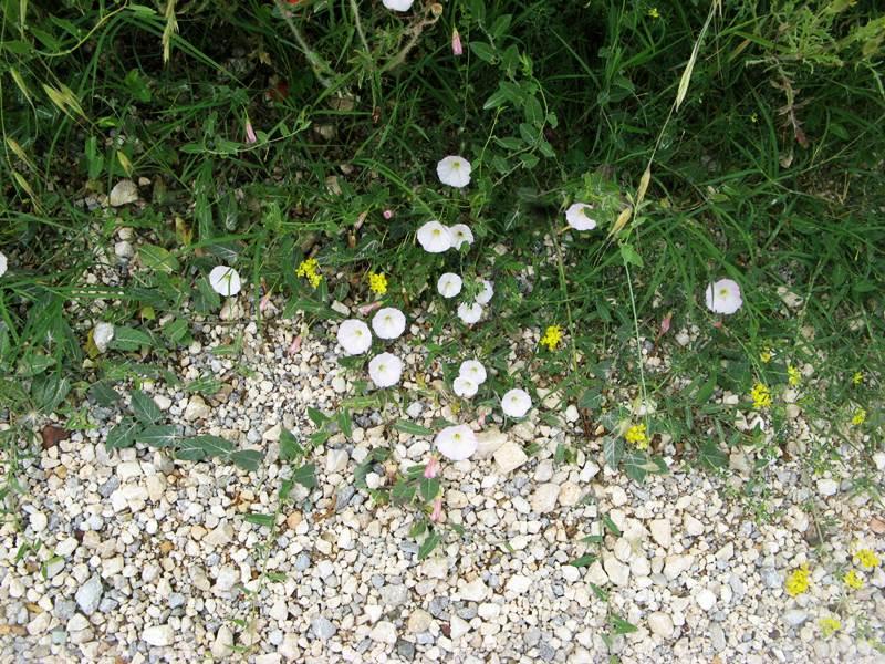 цветы у дороги в Тоскане