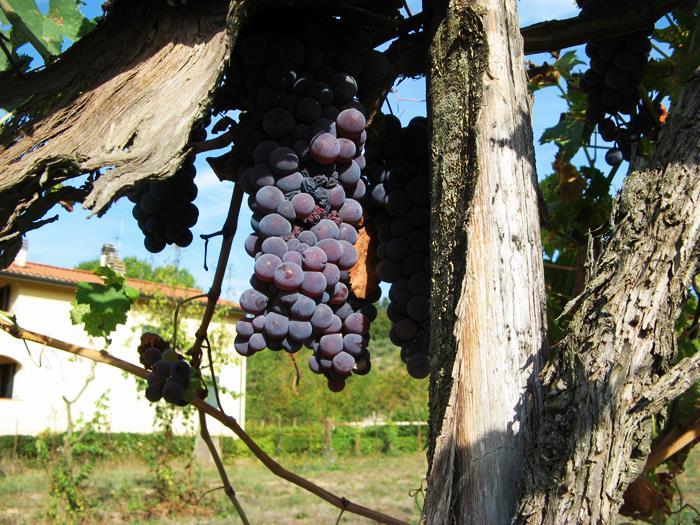 гроздь сентябрьского винограда