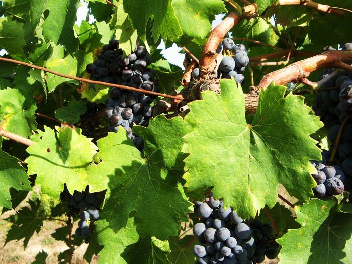виноград в сентябре среди листвы - Тоскана, Италия