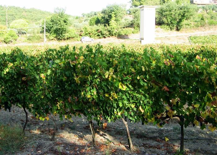 урожай винограда в Тоскане