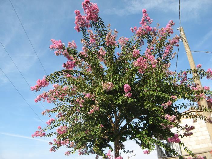дерево цветёт в сентябре в Тоскане