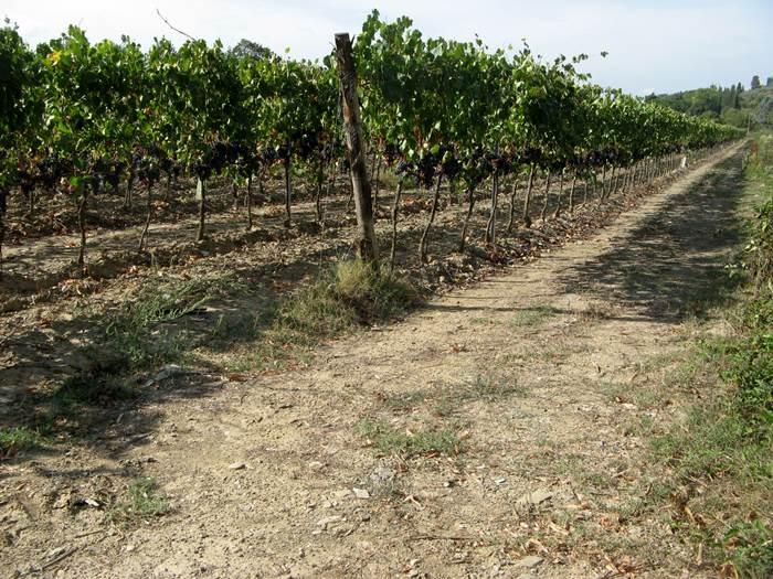 сентябрь 2018 - виноградник возле Ареццо
