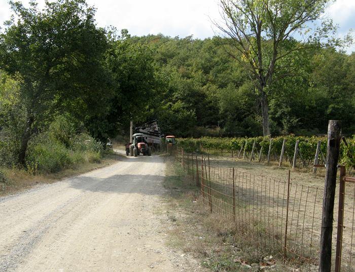 октябрь в Тоскане - сбор винограда
