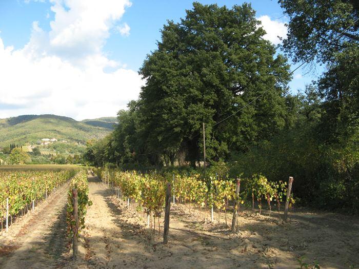 виноградник в бабье лето
