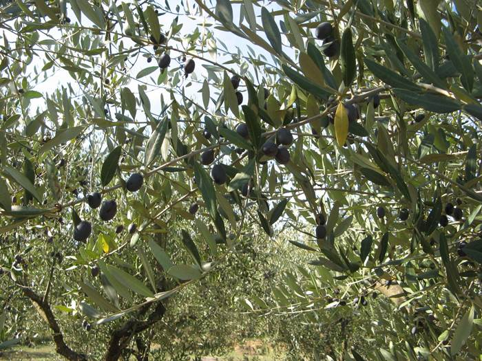 бабье лето - оливки