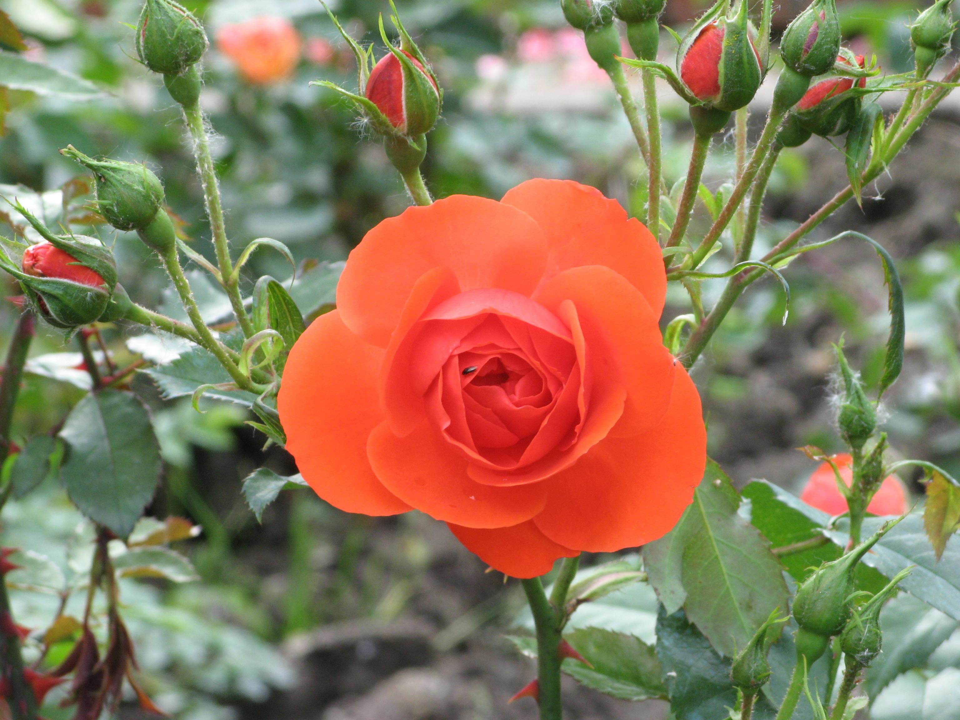 цветение роз В Каврилье