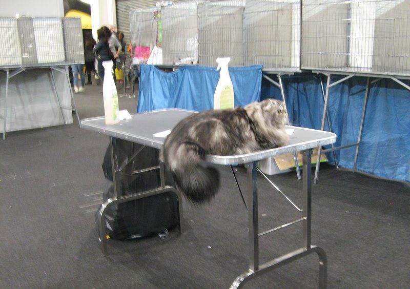перевыходом на судейство на выставке кошек