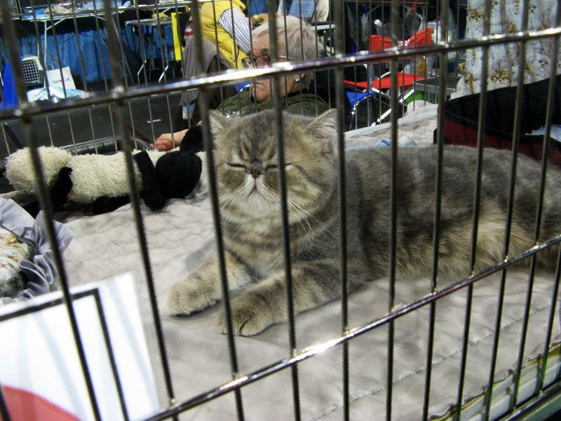 кошка в ожидании судейства на выставке