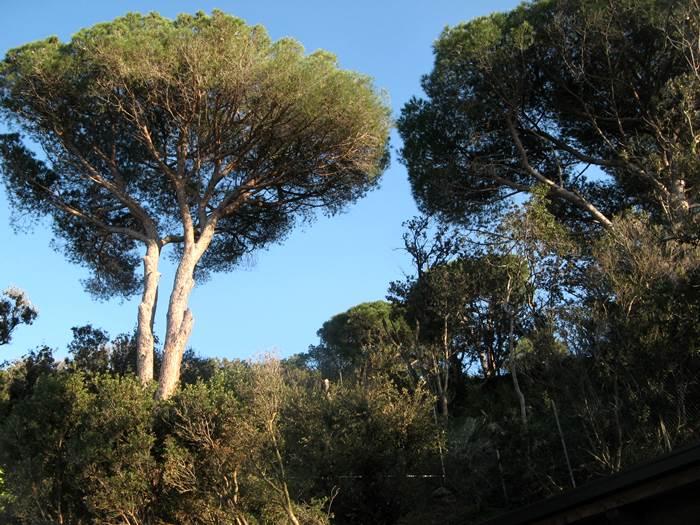 хвойные деревья вокруг пляжа Оттоне