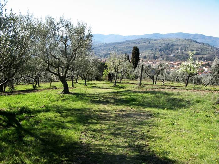 оливковая роща возле Ареццо