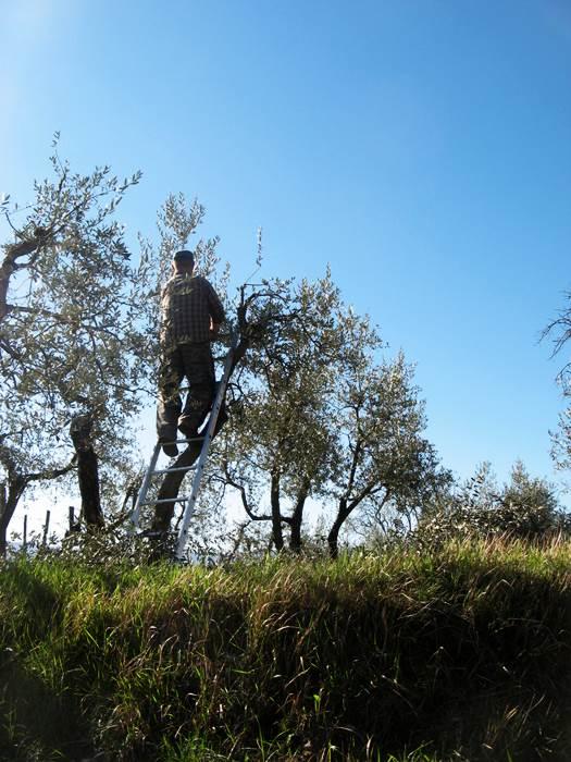 рабочий обрезает оливковое дерево