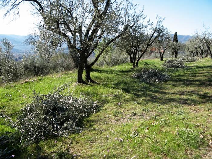 обрезание олив