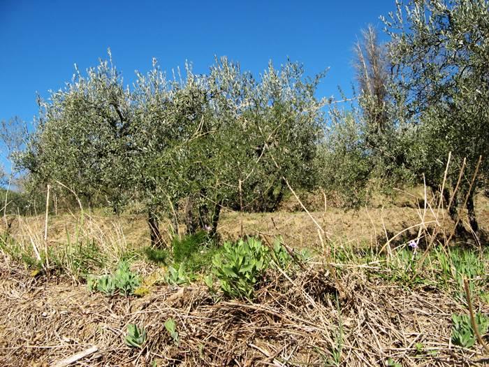 оливковые деревья на голубом фоне неба