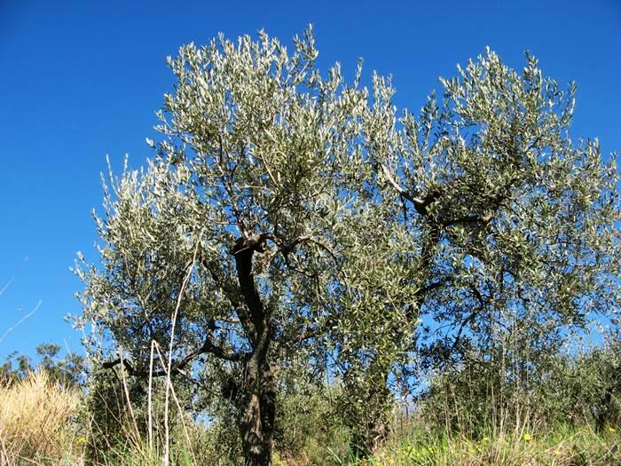 оливковое дерево, нуждающееся в обрезке