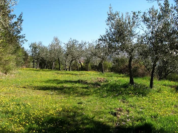 зелень и полевые цветы в оливковой роще