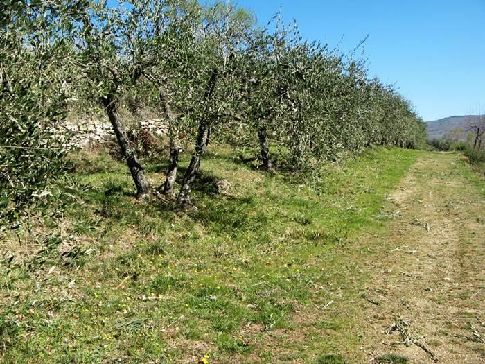 оливковые деревья после обрезки