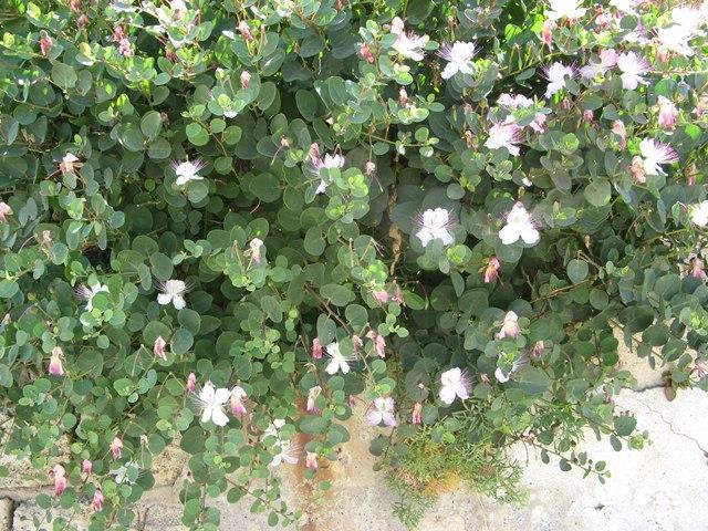 много цветов на острове Пьяноза