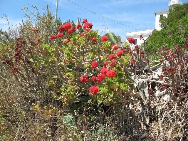летнее цветение на острове Пьяноза