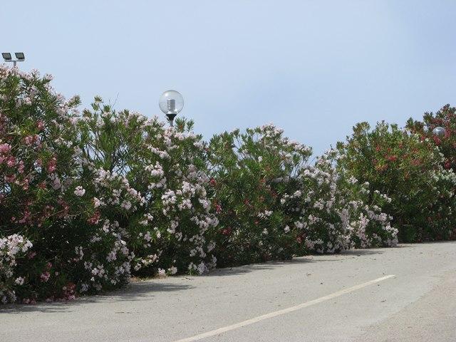 цветы на Пьянозе украшают старые дороги