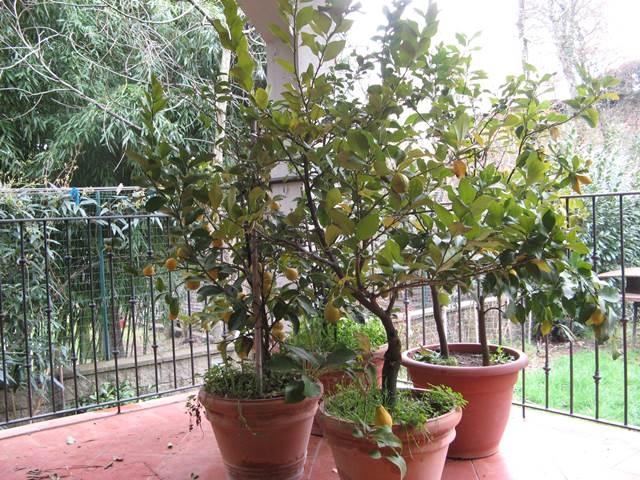 Плодоносящие лимоны