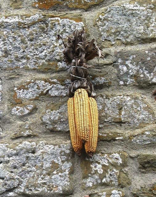 сухие початки кукурузы