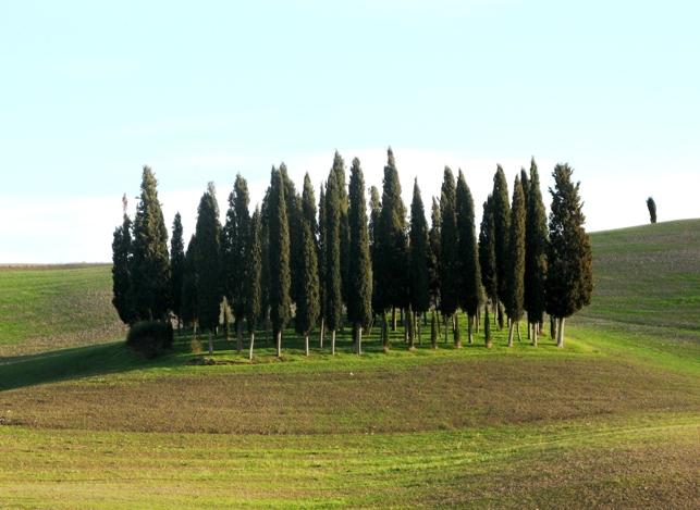 группа кипарисов в Тоскане