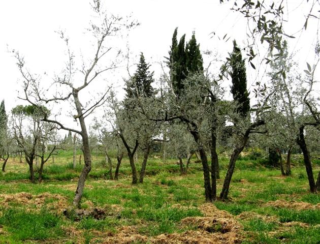 toskana-тоскана, оливковая роща