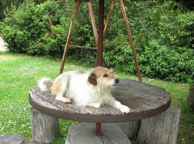 toskana-тоскана-домашний пёс