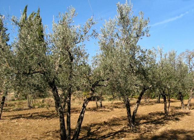 Оливковая роща в итальянской деревне