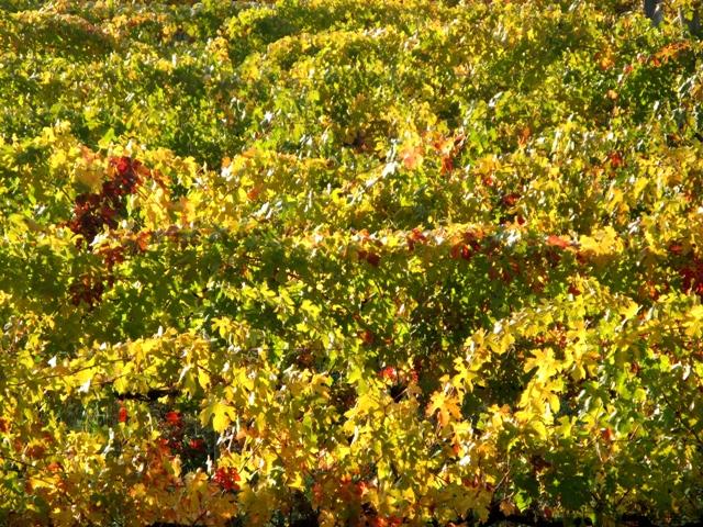 vinogradniki-виноградники пожелтели
