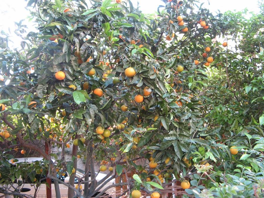 Апельсины тоже никто пока не собирает.