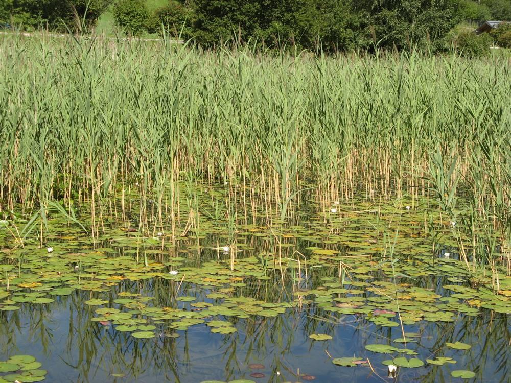 Цветут кувшинки на озере Лаголо