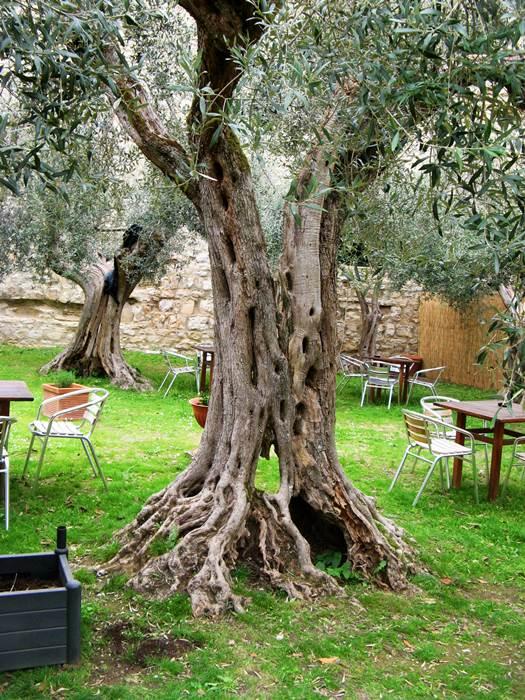 строе оливковое дерево в крепости Кастильон дель Лаго