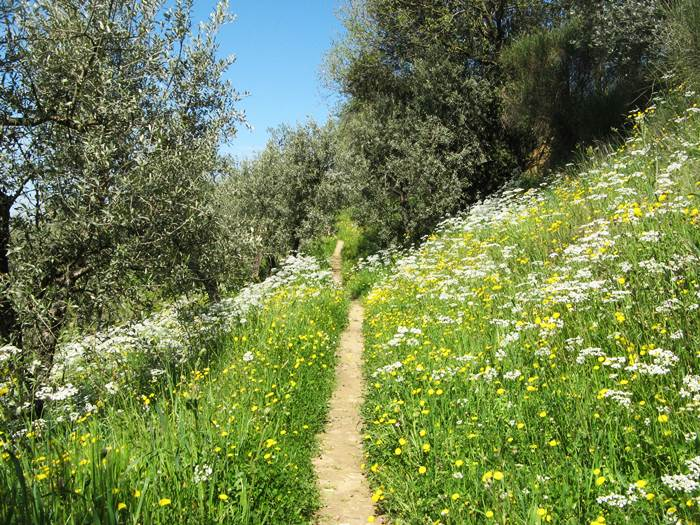 Тоскана - тропинка среди олив
