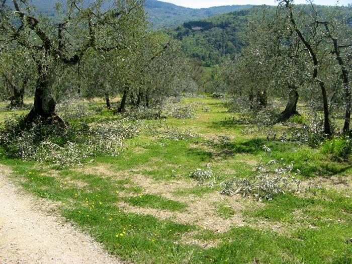 Тоскана весной - обрезка олив